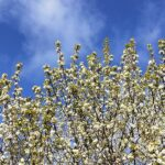 Ornamental pear tree in blossom with bright blue sky and fluffy white clouds in the background